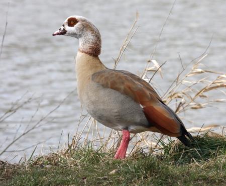 Alopochen-aegyptiacus